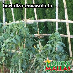 cultivos entutorados con estacas